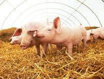 Jeune porcelet sur le foin à la ferme de porc Image libre de droits