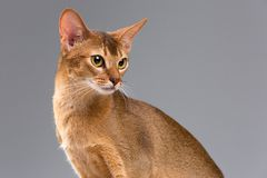 Jeune portrait abyssinien de race de chat Photo stock