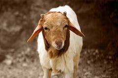 Jeune portrait d'animal de chèvre Images stock