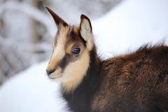 Jeune portrait de chamois Photo stock