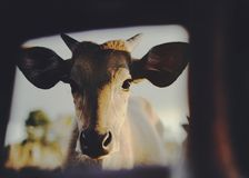 Jeune portrait de veau regardant l'appareil-photo image stock