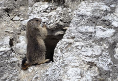 Jeune position alpine de marmotte Photo stock