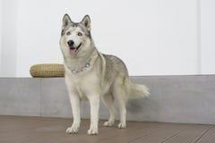 Jeune position de chien de chien de traîneau sibérien Photos stock