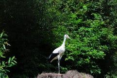 Jeune position de ciconia de Ciconia de cigogne blanche sur une gerbe de foin image stock