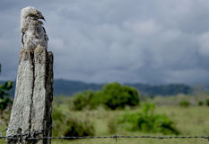 Jeune potoo (griseus de Nyctibius) Photo libre de droits