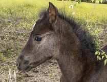 Jeune poulain brun Image stock