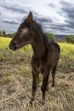 Jeune poulain brun Photographie stock libre de droits