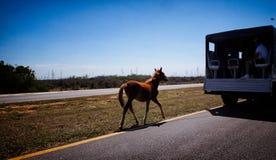 Jeune poulain de cheval étant remorqué Photos libres de droits