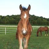 Jeune poulain de cheval dans un pré Image libre de droits