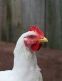 Jeune poulet à rôtir dans la cour de volaille photo stock
