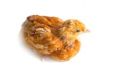 Jeune poulet Images stock