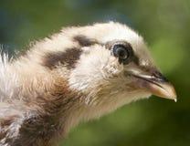 Jeune poulet photo libre de droits