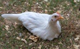 Jeune poulet blanc se reposant sur la terre photographie stock libre de droits