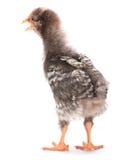 Jeune poulet gris photo libre de droits