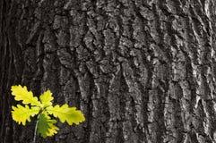 Jeune pousse de chêne sur chêne d'écorce de fond le vieux Photos stock
