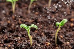 Jeune pousse de pulvérisation des tomates, arrosant et s'inquiétant des jeunes plantes photographie stock libre de droits