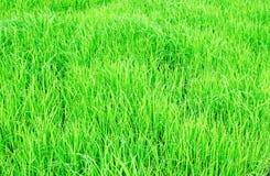 Jeune pousse de riz Photographie stock