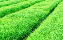 Jeune pousse de riz Images stock