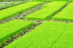 Jeune pousse de riz Images libres de droits