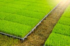Jeune pousse de riz dans la boîte prête à l'élevage Images stock