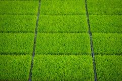 Jeune pousse de riz dans la boîte prête à l'élevage Photos libres de droits
