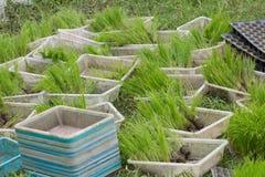 Jeune pousse de riz prête à l'élevage Image stock
