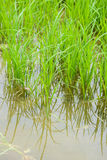 Jeune pousse de riz prête à l'élevage Image libre de droits