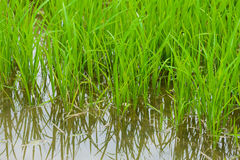 Jeune pousse de riz prête à l'élevage Photographie stock