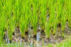 Jeune pousse de riz prête à l'élevage Images libres de droits