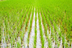 Jeune pousse de riz prête à l'élevage Photo libre de droits