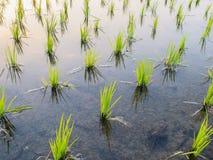 Jeune pousse de riz prête à l'élevage dans le riz Photo libre de droits