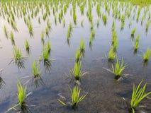 Jeune pousse de riz prête à l'élevage dans le riz Image libre de droits