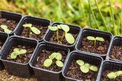 Jeune pousse de tournesol au printemps dans des seaux Photo stock