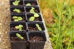 Jeune pousse de tournesol au printemps dans des seaux Images libres de droits