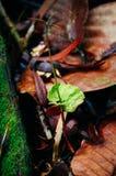 Jeune pousse des espèces de Dipterocarpus sur la forêt tropicale tropicale du Bornéo Propagation d'arbre des espèces de Dipteroca Photos libres de droits