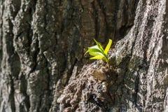 Jeune pousse fraîche s'élevant sur l'écorce d'arbre dans le printemps Photo stock