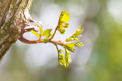 Jeune pousse verte d'un acacia sur un tronc d'arbre Image libre de droits