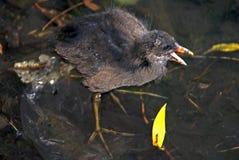 Jeune poussin de poule d'eau de faune Images libres de droits
