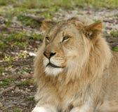 Jeune profil de lion Photos stock