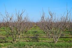 Jeune prune, verger de prune de cerise Images libres de droits