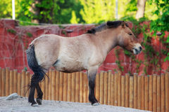 Jeune Przewalski& x27 ; cheval de s images libres de droits