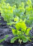 jeune quinoa dans le potager Photographie stock