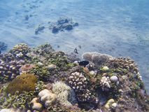 Jeune récif coralien sur le seabottom Eau peu profonde de rivage exotique d'île Photographie stock libre de droits