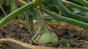 Jeune récolte grandissante d'oignon dans le jardin Jeune oignon avec les plumes vertes dans la terre 4K vid?o 4K clips vidéos