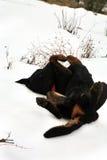 Jeune race Beauceron de chien Photographie stock