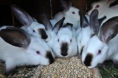 Jeune race Californian_5 de lapins Image libre de droits