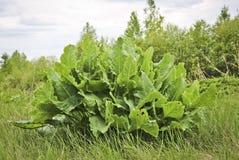 Jeune raifort de grand buisson Légume à racine utilisé comme épice et préparé comme condiment photos libres de droits