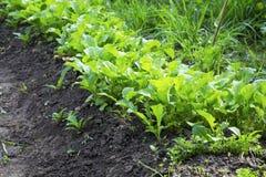 Jeune rangée de récolte de radis dans le jardin, jeunes feuilles vertes de Ra Image stock