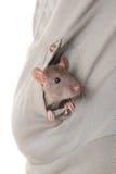 Jeune rat domestique Photographie stock libre de droits