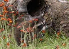 Jeune raton laveur sortant d'un rondin entouré par des Wildflowers Photos stock